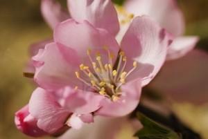 Fleur d'amandier bio
